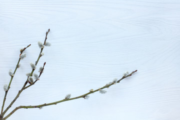 festive  Easter background/ flat lay of spring pussy-willow twigs on a light wooden background Top view