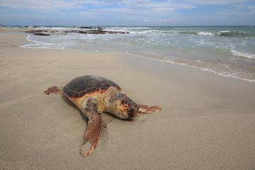 tartaruga marina (Caretta Caretta), ferita, sulla spiaggia di San Foca - Salento