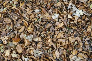 Autumn leaves background texture. Maple Leaf Type