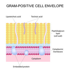 Vector illustration of the Gram-positive cell wall
