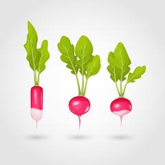 Set of fresh radish. Vector illustration.