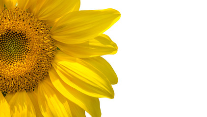 Sunflower flowers close-up,isolated on white background