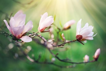 Affisch - Spring magnolia blossom background. Beautiful nature scene with blooming magnolia