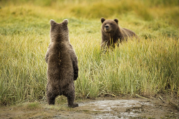 Brown bear cub looking for mom