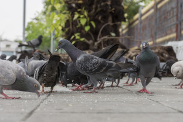 closeup potrait pigeons on eating on ground , ant view