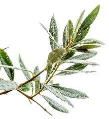 rameau d'olivier, fond blanc
