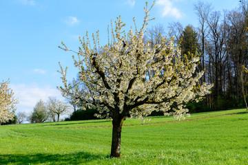 Kirschbaum im Frühling mit weissen Blüten