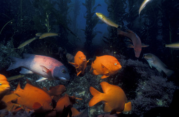 Garibaldi fishes and sheephead wrasse in a kelp forest, Santa Catalina Island, California.