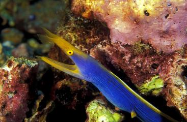 Ribbon eel, Rhinemuraena quasita, Komodo Indonesia.