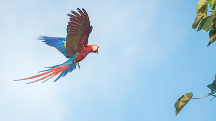 The scarlet macaw (Ara macao) flying towards the green brunch with a blue sky on the background