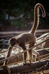 Spider monkey in the zoo Barcelona of Spain
