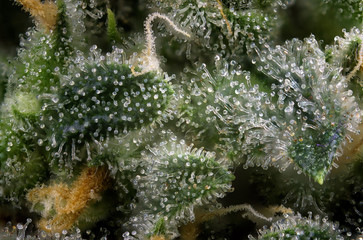 Cannabis bud macro (green crack marijuana strain) with visible hairs and trichomes