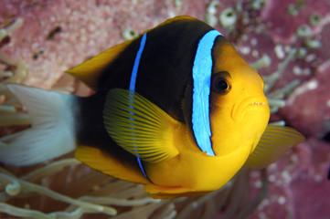 Orangefin anemonefish, Amphiprion chrysepterus, Kosrae Micronesia.