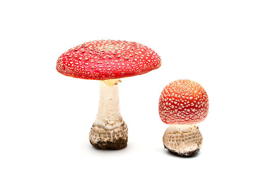 two of the mushroom fly agaric on white background