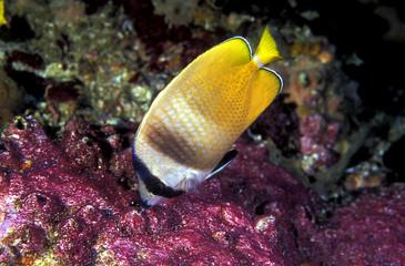 Blacklip butterflyfish, Chaetodon keinii, feeding on damsel fish eggs, Komodo Indonesia.