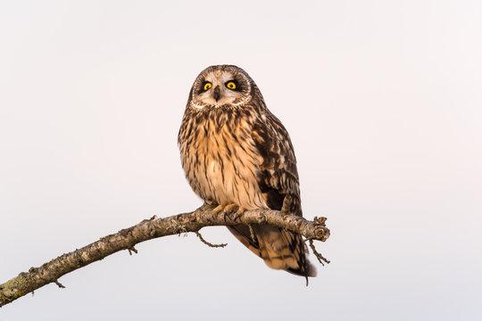 Short-eared Owl Resting