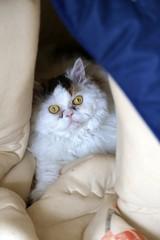 Selkirk Rex Katze versteckt sich in ihrer Höhle im Schlafsack