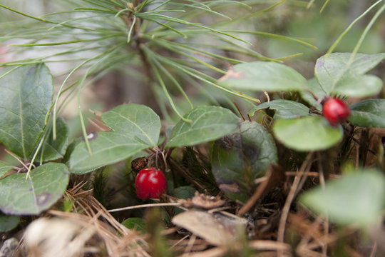 Fruit of the American wintergreen. Eastern teaberry. Checkerberry. Boxberry. Gaultheria procumbens.