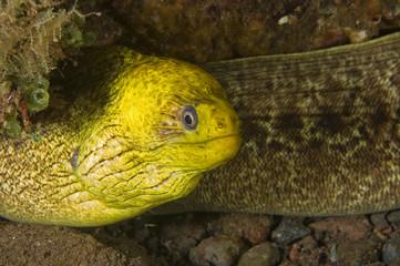 Moray eel, Gymnothorax undulatus, Bali Indonesia.