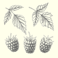 Raspberry. Set of natural elements with berries and leaves. Vintage botanical illustration.