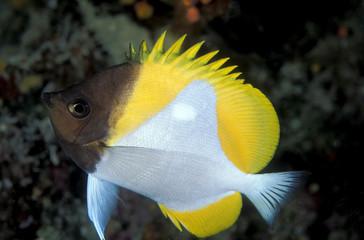 Pyramid butterflyfish, Hemitaurichthys polylepis, Sulawesi Indonesia.
