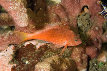 Swallowtail hawkfish, Cyprinocirrhites polyactis, Bali Indonesia.