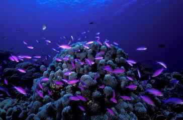 Purple queen anthiases in Kosrae, Micronesia.
