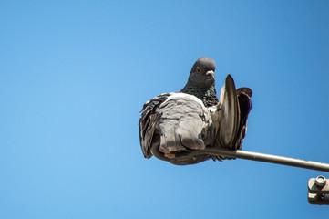 Flipped Pigeon