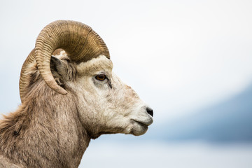 Bighorn Sheep Ram side view against grey background