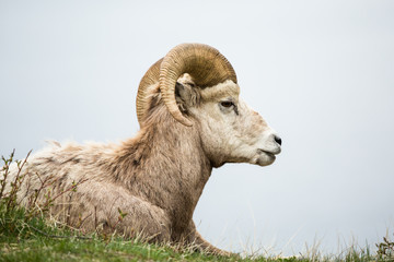 Bighorn sheep ram lying on grass against grey background