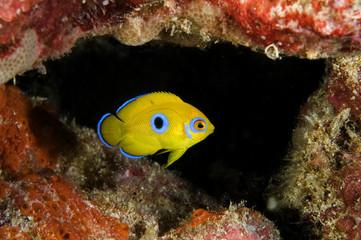 Juvenile Lemonpeel angelfish, Centropyge flavissimus. Blue spot will disappear when matures. Kritimati Island, Kribati.