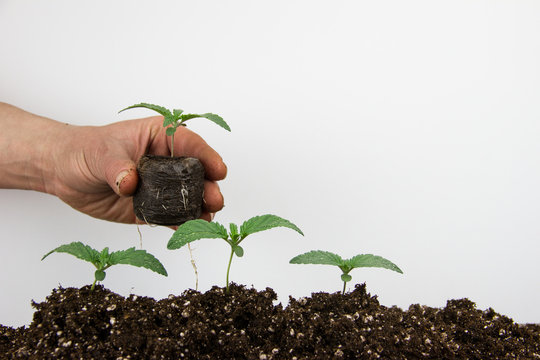 Cannabis seedlings healthy marijuana plants isolated white