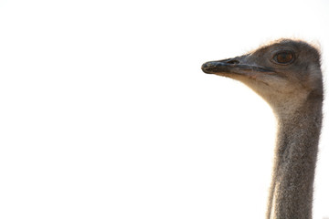 Ostrich head isolated on white background