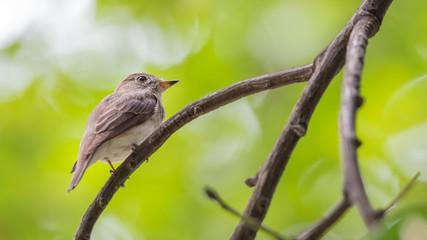 Bird (Asian brown flycatcher) on a tree
