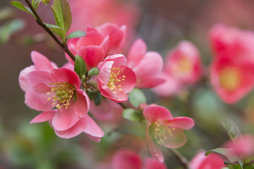 flowers of japanese quince tree - symbol of spring, macro shot with blurry background