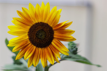 Brilliant sunflower with rusty, yellow petals