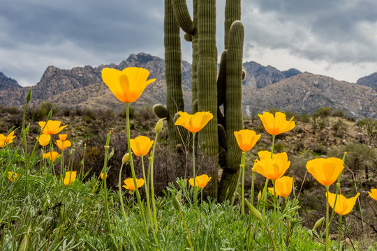 A patch of poppies brightens this corner of Sonoran Desert in Spring.