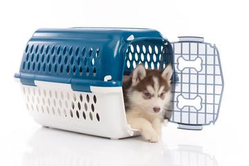 siberian husky puppy in travel box o