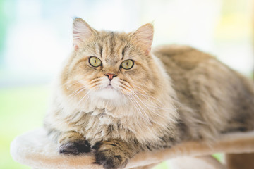 Cute persian cat lying on cat tower