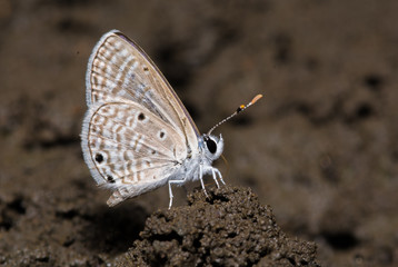 Bright Babul Blue butterfly during mud puddling