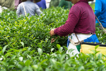 Vietnamese women picking tea leaves at a tea plantation, closeup