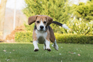Beagle rennt im Garten