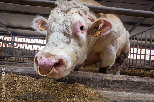 Big Bull With Nose Ring Belgian Blue Bull Stock Photo And Royalty