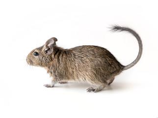 Little Degu squirrel, isolated, closeup