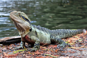 Eastern Water Dragon, Physignathus lesueurii (Agamidae). Brisbane, Queensland Australia