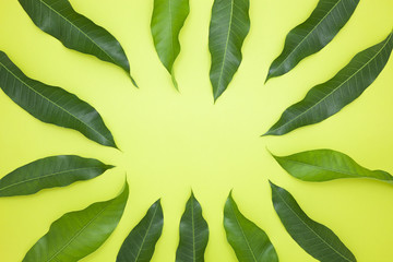 Mango leaves on green paper background,concept summer background and product design.