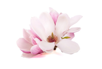 Wall Murals Magnolia The pink magnolia flowers