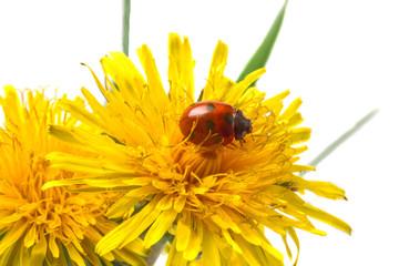 On yellow dandelions little ladybug close