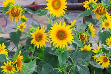 sunflowers yellow blooming  in garden flower beautiful