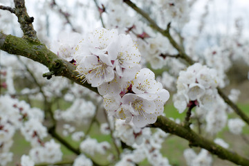 Apricot blossoms on a branch in a orchard.